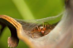 Mimische Spinne der Ameise, Myrmarachne SP, Salticidae, Bangalore Lizenzfreie Stockfotos