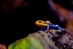 Mimischer Gift-Frosch, Ranitomeya-Nachahmer Jeberos stockfoto