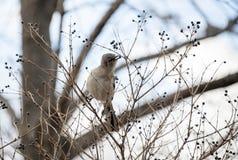 Mimo nordico che mangia le bacche fuori dall'albero nell'inverno Fotografie Stock Libere da Diritti