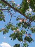 Mimosa μαγικό στοκ εικόνες