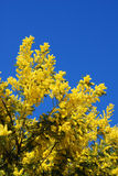 Mimosa Imagem de Stock