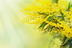 Mimosa, sunlight bacground, Womens day Stock Photos
