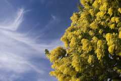Mimosa Royalty Free Stock Photo