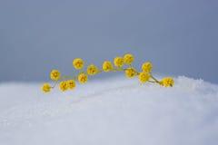 mimosa Στοκ φωτογραφία με δικαίωμα ελεύθερης χρήσης