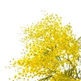 mimosa Стоковые Фото