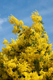 Mimosa. Photographed from below with blue sky Royalty Free Stock Photography