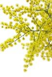 Mimosa Stock Photos