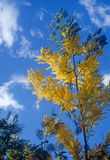 Mimosa. Tree in sky and clouds background Royalty Free Stock Photography