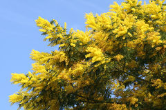 Mimosa. Tree overflowing with spring blossoms Stock Photo