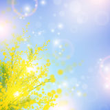 Mimosa. Flowers over blue sky and magic spring lights Royalty Free Stock Photography