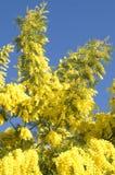 mimosa Стоковое Фото