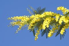 mimosa Arkivfoton