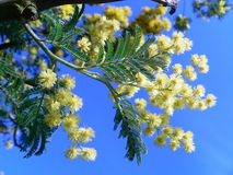 Mimosa Stock Photography
