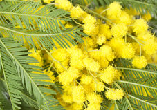 Mimosa. Fresh mimosa flower close up Stock Image