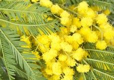 Mimosa Fotografering för Bildbyråer