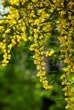 Mimosa Imágenes de archivo libres de regalías