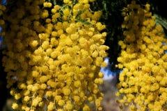 Mimosa immagine stock