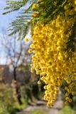 Mimosa photo libre de droits