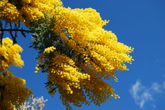 Mimosa. Some mimosa flowers in the blue sky Royalty Free Stock Image