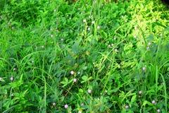 mimosa foto de archivo libre de regalías