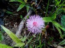 mimosa Fotografia Stock Libera da Diritti