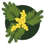 mimosa бесплатная иллюстрация