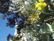 mimosa Fotografie Stock