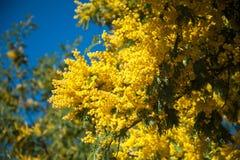 mimosa Photographie stock