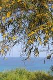 mimosa Στοκ Εικόνα