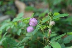 mimosa Стоковые Фотографии RF