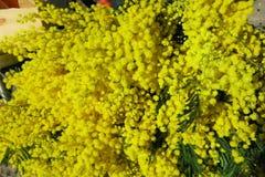 mimosa Royalty-vrije Stock Afbeelding