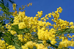 Mimosa. Tree with yellow flowers Royalty Free Stock Images