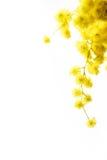 Mimosa foto de archivo