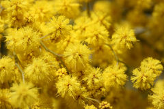 Mimosa Royalty Free Stock Image