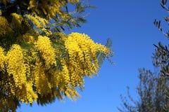 mimosa Στοκ εικόνα με δικαίωμα ελεύθερης χρήσης