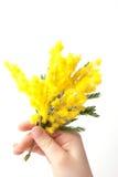 mimosa Photographie stock libre de droits