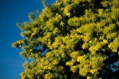 Mimosa acacia. Yellow mimosa with blue sky royalty free stock photo