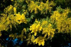 Mimosa acacia. Yellow mimosa with blue sky Stock Photo