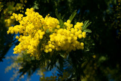 Mimosa acacia. Yellow mimosa with blue sky Stock Photography