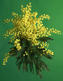 Mimosa Acacia Dealbata Royalty Free Stock Photography