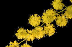 Mimosa Acacia Dealbata Stock Photo