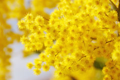 Mimosa (Acacia dealbata, Mimosaceae). Yellow Mimosa, symbol of the early springtime in Europa (Italy) and International Woman's Day 8th March Stock Image