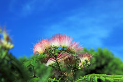 Mimosa Albizia julibrissin Royalty Free Stock Images