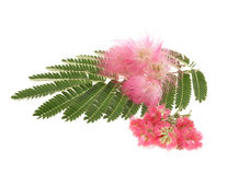 Mimosa Albizia julibrissin  foliage Royalty Free Stock Images