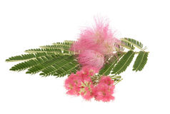 Mimosa Albizia julibrissin  foliage Stock Photos