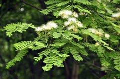 Mimosa (Albizia julibrissin) Royalty Free Stock Photos