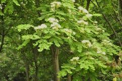 Mimosa (Albizia julibrissin) Royalty Free Stock Photo