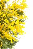 Mimosa amarela de florescência Imagem de Stock Royalty Free