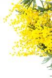 Mimosa amarela de florescência Foto de Stock Royalty Free