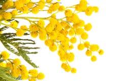 Mimosa amarela de florescência Fotos de Stock Royalty Free